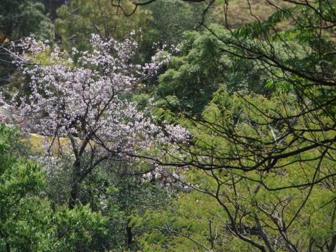 copy-blossoming-tree-dharamsala.jpg