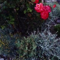 provence rose at night